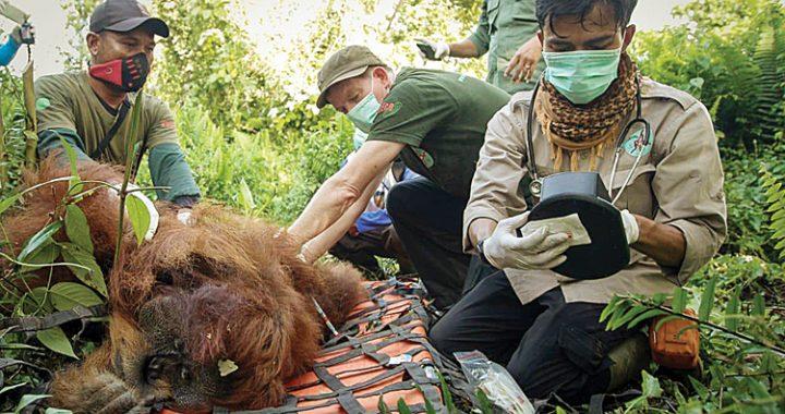 Bertahan Hidup, di Tubuh Orangutan Terdapat 6 sampai 20 Peluru