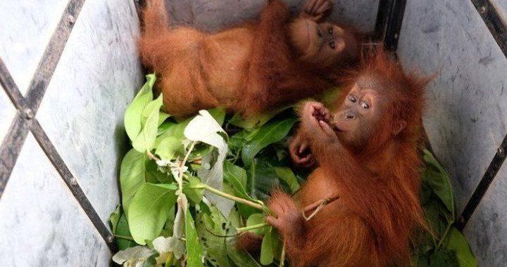 Selamat Atas Kelahiran Bayi Orang Utan di Cagar Alam Jantho Aceh, Siapa ya Namanya?
