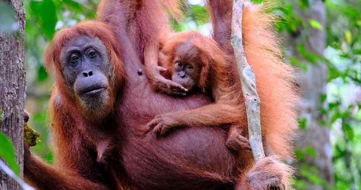 BBKSDA Sumut Survei Kepadatan dan Populasi Orangutan