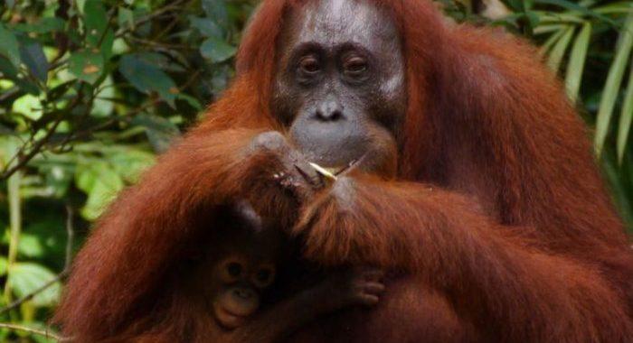 Konflik Harimau vs Warga Belum Tuntas, Kini Petani 'Berseteru' Dengan Orangutan, Ini Penyebabnya