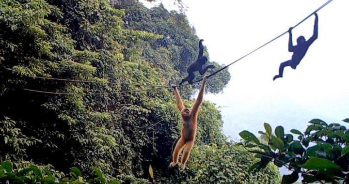 Membuat 'tali ayunan' demi menyelamatkan owa, primata terlangka di dunia yang hanya tersisa 30 ekor