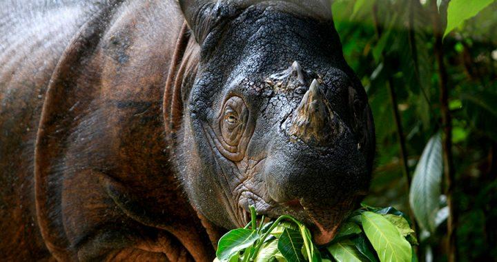 Jerat Satwa Masih Ancaman Utama Kehidupan Badak Sumatera di Leuser