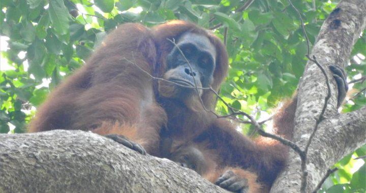 Bayi Ketiga Orangutan Lahir di Pusat Reintroduksi Jantho Aceh