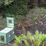 Harimau Sumatera Pemangsa Ternak Warga Dilepasliarkan