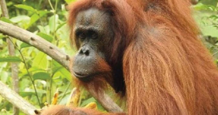 Tiga Individu Orangutan Dilepasliarkan KLHK dan Yayasan BOS di Kaltim
