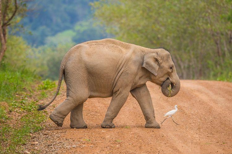 Ilustrasi gajah Asia.(SHUTTERSTOCK)