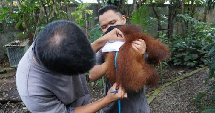 Kisah dari Lembaga Konservasi Orangutan di Sintang