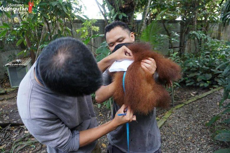CEK KESEHATAN: Narto Adang dan Agus saat melakukan pengukuran badan individu orangutan bernama Gieke di pusat karantina Sintang, guna memantau perkembangan dan kesehatan Si Pongo. SINTANG ORANGUTAN CENTER FOR PONTIANAK POST