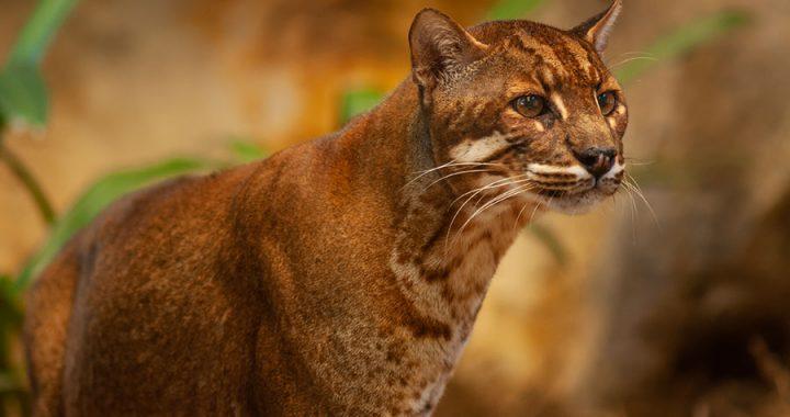 Kucing Emas, Satwa Misterius di Lebatnya Hutan Sumatera