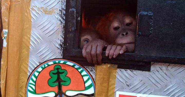 Orangutan Asto dan Asih Jalani Rehabilitasi Sebelum Dilepasliarkan ke Habitat Asli