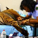 Dokter Yanti, Perempuan Hebat Penyelamat Satwa Liar di Rimba Sumatera
