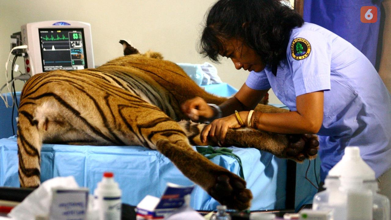 Dokter Yanti saat melakukan operasi transpalansi kulit Harimau Sumatera yang terkena jerat pemburu liar. (Liputan6.com/Yuliardi Hardjo)