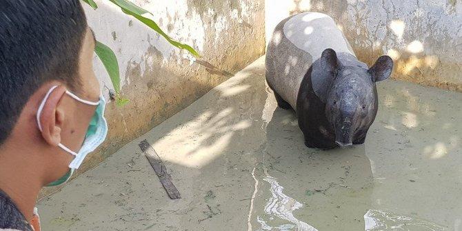 Tapir tercebur kolam ikan. Antara