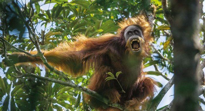 Orangutan Tapanuli Menuju Jurang Kepunahan Akibat PLTA dan Perburuan