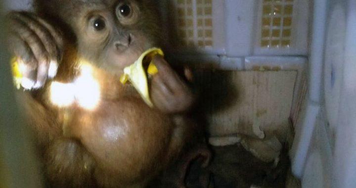 Derita 2 Anak Orangutan, Disembunyikan Dalam Keranjang Buah di Bagasi Bus
