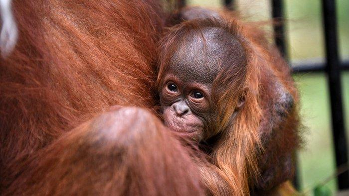 Bayi Orangutan Kalimantan (Pongo Pygmaeus) yang baru lahir dalam penjagaan induknya didalam kandang Taman Safari Indonesia (TSI), Cisarua, Kabupaten Bogor, Jawa Barat, Rabu (27/5/2020). tirto.id/Andrey Gromico