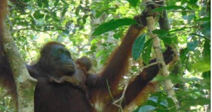 Suaka Lamandau Kalteng Kembali Kabarkan Kelahiran Orangutan
