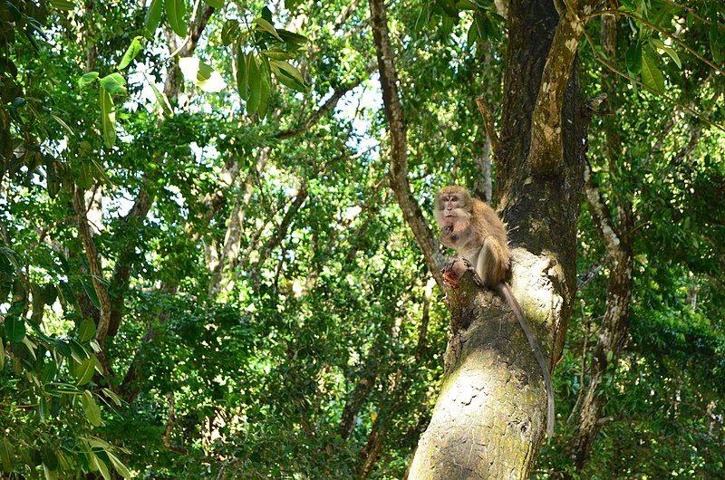 Monyet di Taman Nasional Ujung Kulon. (commons.wikimedia.org)