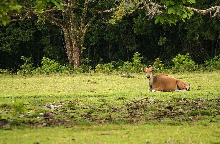 Banteng di Taman Nasional Ujung Kulon. (commons.wikimedia.org)