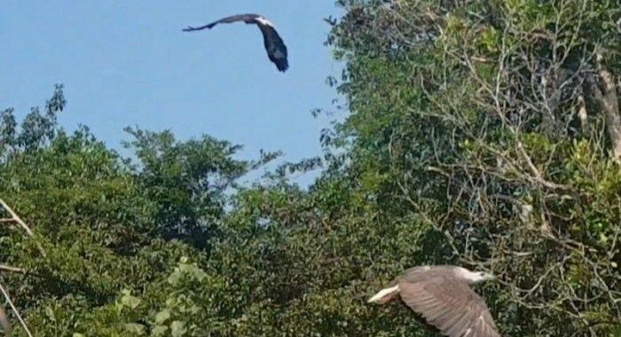 KLHK Lepasliarkan Elang Laut Dada Putih di Kawasan Hutan Lindung Mangrove Munjang