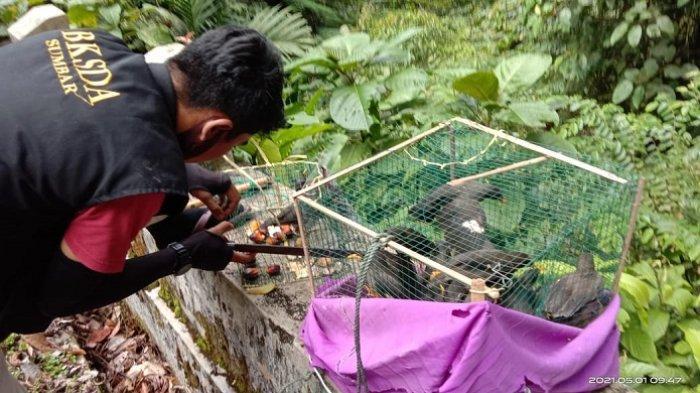 Petugas BKSDA Resor Agam saat mengamankan burung jalak kerbau. Istimewa