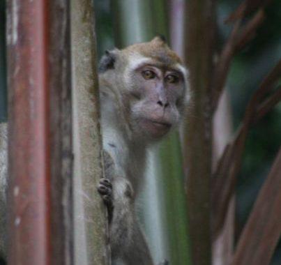 Berapa Kekayaan Satwa Primata Indonesia?