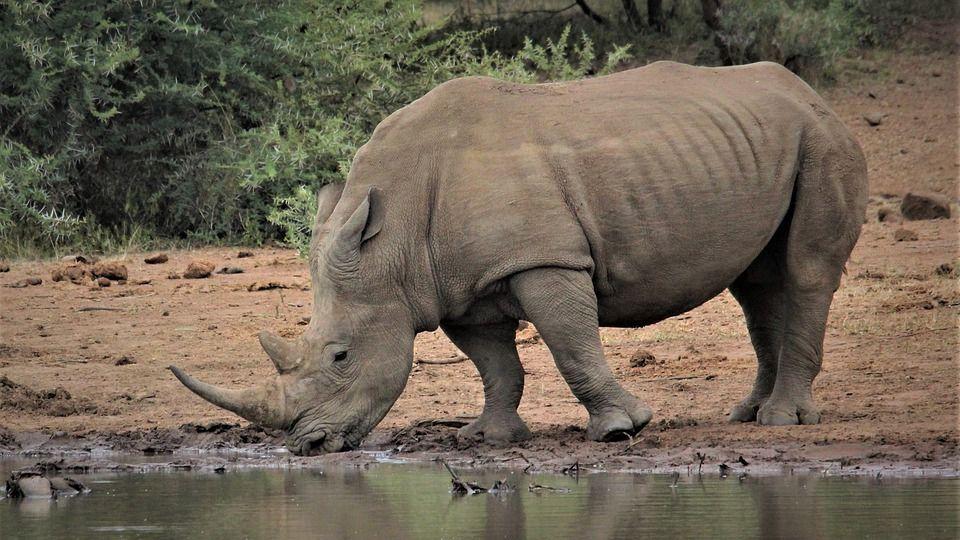 ilustrasi hewan badak (pixabay.com/Nel_Botha-NZ)