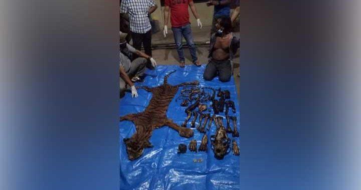 Pria Bawa Kulit dan Tulang Harimau Sumatera Disergap di Bengkulu