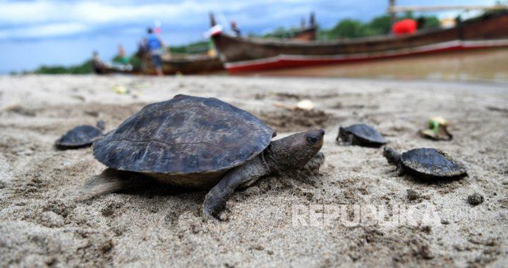 Berpetualang Menuju Konservasi Tuntong Pantai Ujung Aceh