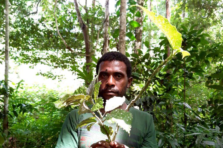 Daun gatal. Salah satu tumbuhan obat asal Papua. Foto: Lusia Arumingtyas/Mongabay Indonesia