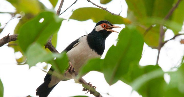 Nasib Jalak Suren, Diburu di Alam Liar untuk Diperlombakan Sebagai Burung Kicau