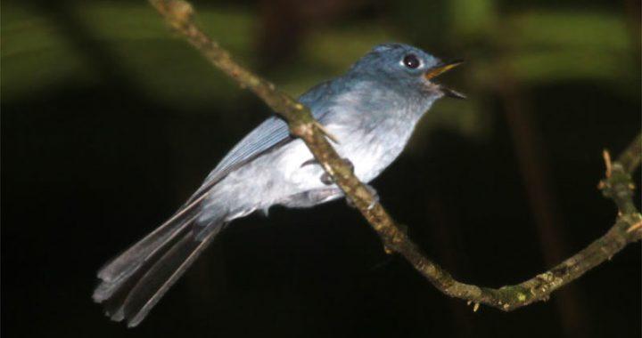 Seriwang Sangihe, Burung Langka di Dunia yang Habitatnya Terancam Tambang Emas