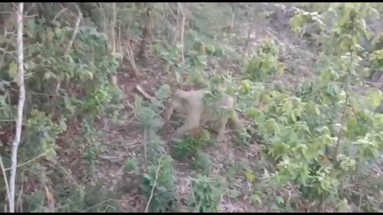 Gajah jantan liar menyerang asisten pawang di Aceh Utara, Selasa (15/6/2021). Konflik gajah dengan manusia di Aceh Utara disebabkan hutan semakin menyempit. Foto: Istimewa
