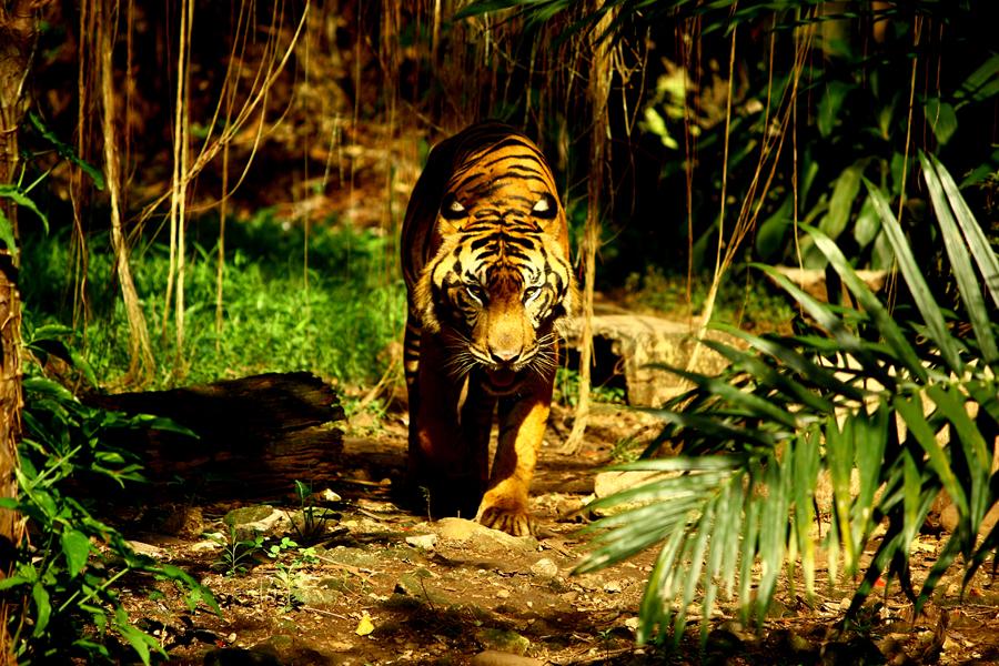 Harimau sumatera yang statusnya Kritis. Foto: Anton Wisuda/Mongabay Indonesia