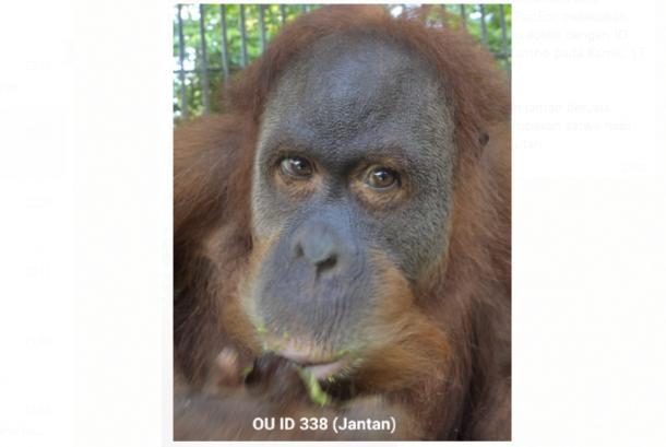 Orangutan sumatera dengan ID 338 yang berjenis kelamin jantan berusia sekitar 10 tahun dan berat badan kurang lebih 25 kilogram (kg) - (KLHK)