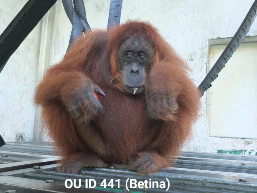 Orangutan sumatera dengan ID 411, berjenis kelamin betina dengan usia berkisar 13 tahun dan berat badan kurang lebih 41 kg.  Foto: KLHK
