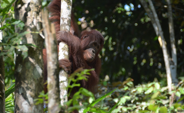 Pelestarian Satwa Langka, 5 Orangutan Dikembalikan ke TN-BBBR Kalteng