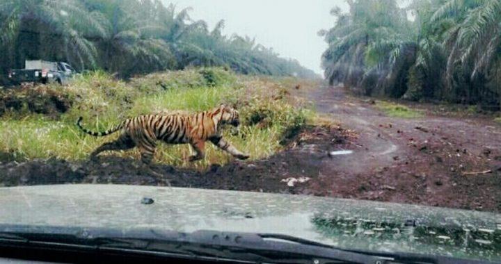 Habitatnya Terganggu, Harimau Terkam Penebang Kayu Hutan di Riau