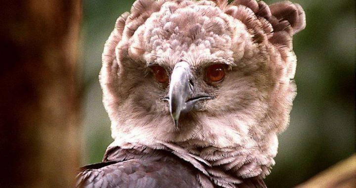 Elang Amazon, 'salah satu burung terbesar di dunia' yang kelaparan seiring deforestasi masif