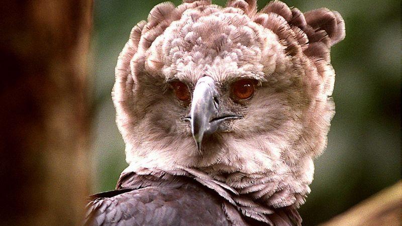 Keterangan gambar, Sebagian besar elang harpy yang tersisa di planet ini hidup di Amazon. GETTY IMAGES