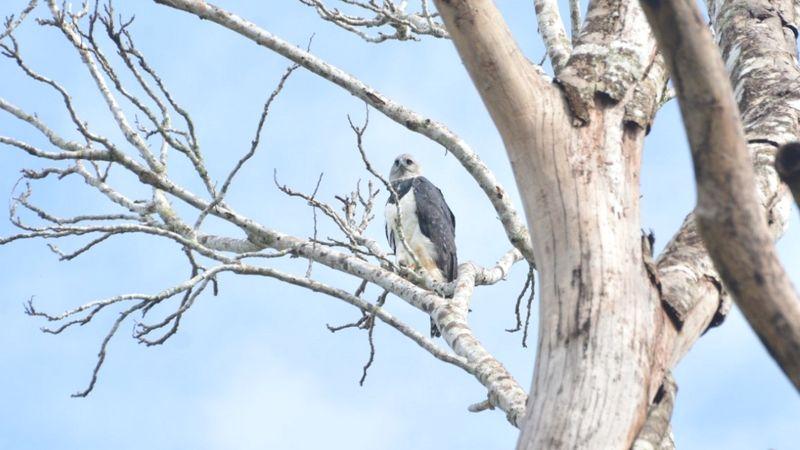 Keterangan gambar, Elang membangun sarangnya di pohon-pohon tinggi yang menjulang di atas kanopi hutan. LAILSON MARQUES