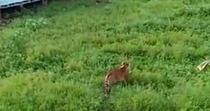 Harimau Memangsa Manusia, BKSDA Minta Warga Menjauh Dari Lokasi