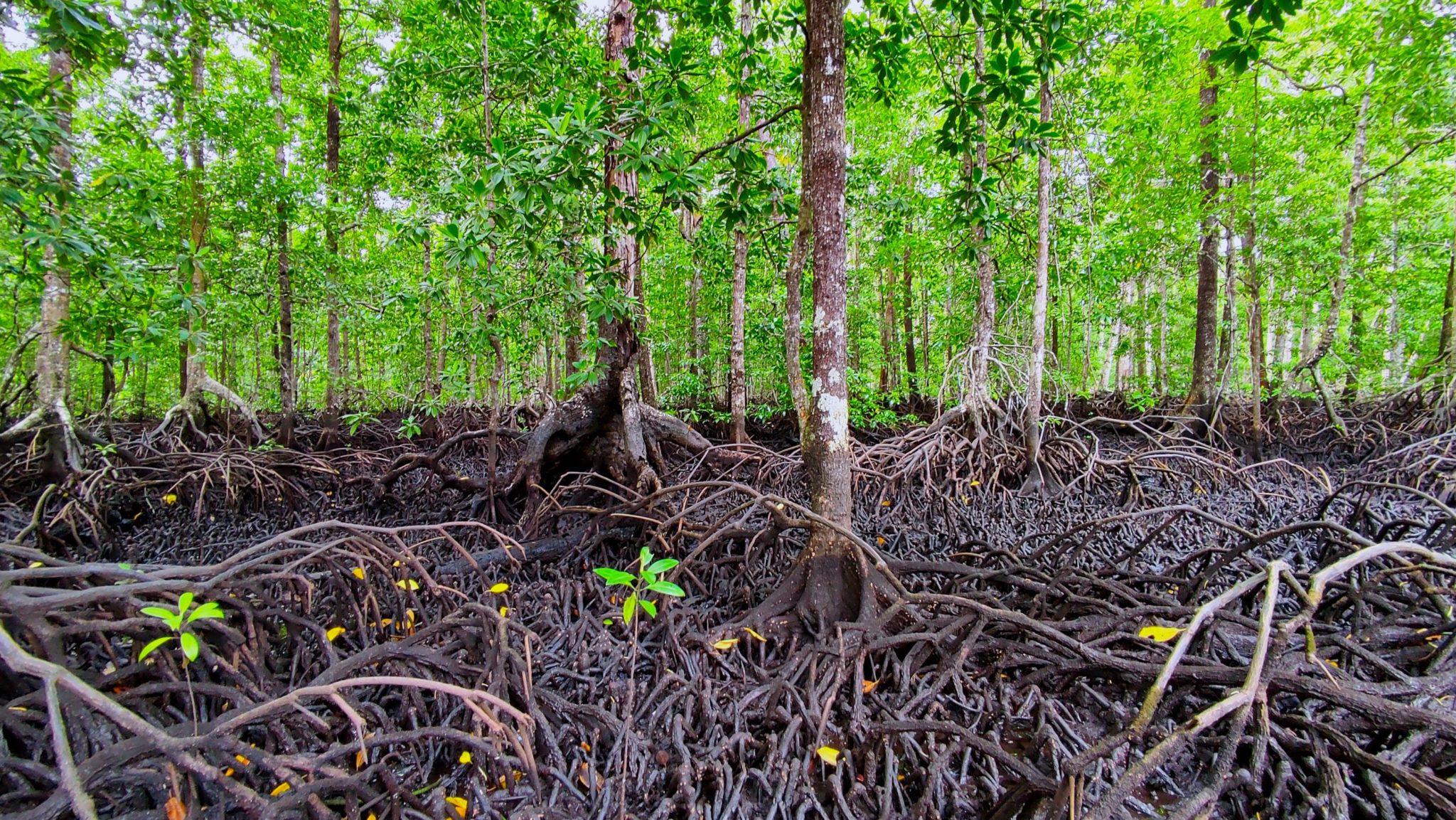 Ekosistem mangrove di Aru Tengah sebagai habitat Kepiting Bakau. Foto : Aziz F 2021