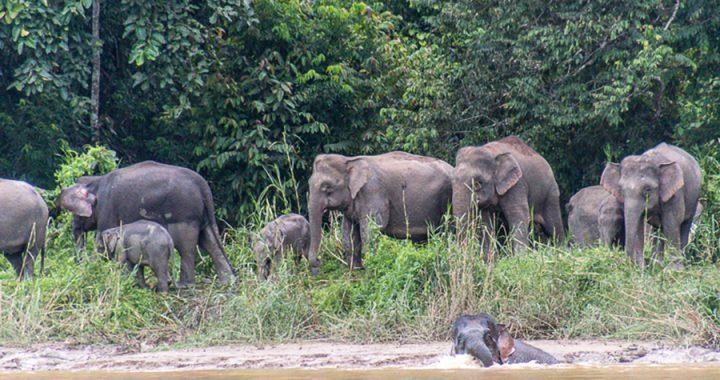 Nasib Gajah Borneo Saat Habitatnya akan Dibangun Jalan Raya Pan Borneo
