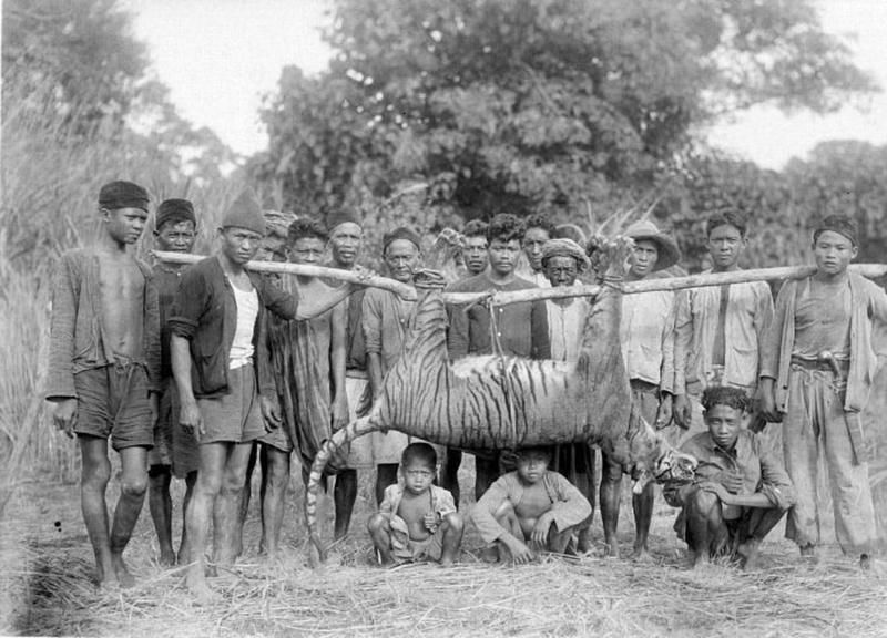 Harimau jawa yang mati diburu pada Mei 1941 di Malingping, Banten. Foto: Wikimedia Commons/Tropenmuseum/H.Bartels/Creative Commons Atribusi-BerbagiSerupa 3.0 Tanpa Adaptasi