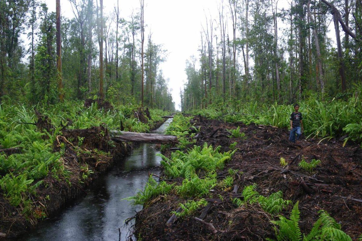 Hutan gambut Tripa yang ada di areal konsesi PT. Kalista Alam. Foto : Yayasan Alam Lestari
