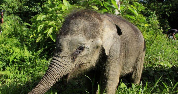 Intan Setia, Anak Gajah Sumatera di CRU Trumon Itu Telah Tiada