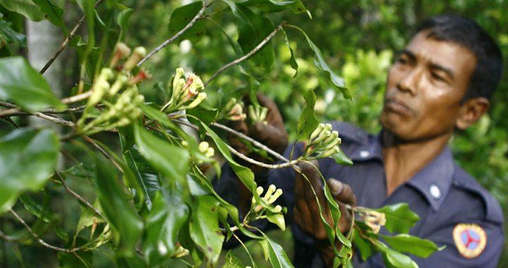 Cengkih yang Tidak Lagi Diandalkan Petani Aceh