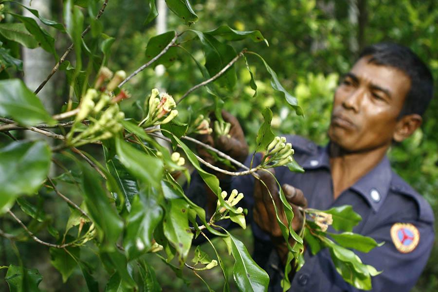 Petani di Kemukiman Lamlhom, Kecamatan Lhoknga, Kabupaten Aceh Besar, Provinsi Aceh memetik cengkih di kebunnya. Foto: Junaidi Hanafiah/Mongabay Indonesia