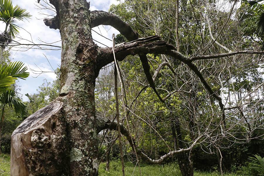 Pohon cengkih yang mati. Foto: Junaidi Hanafiah/Mongabay Indonesia